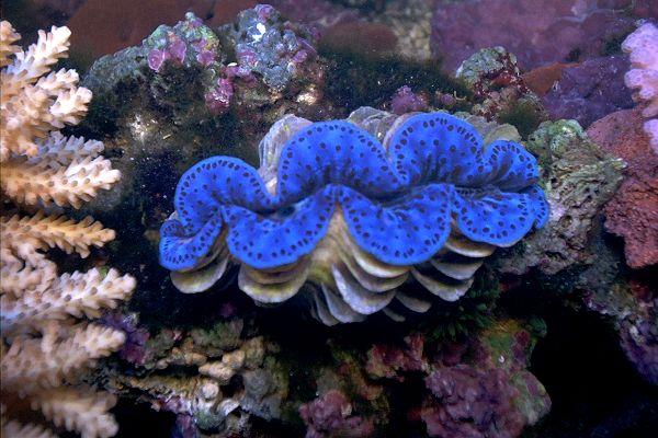 Tridacna maxima clam