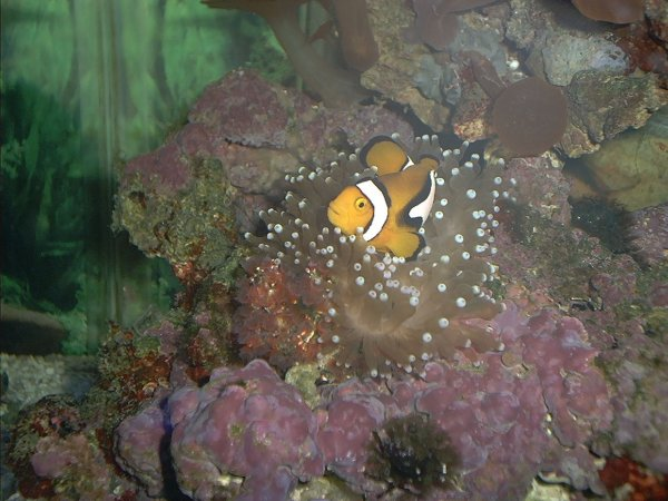 Percula Clown in Bubble Anemone