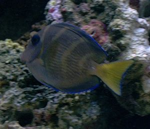 Juvenile Blue Atlantic Tang