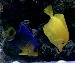Yellow Tang & Juvenile Blue Angel