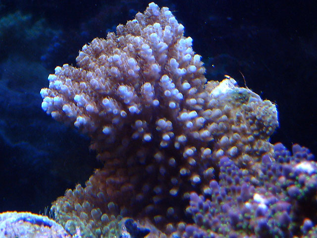 acro 0216a oo - My newest coral