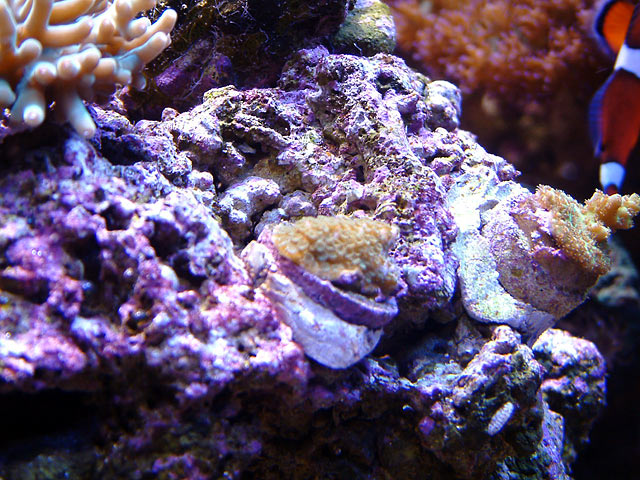 sunset monti 0611 - Growth sequence - Sunset Montipora