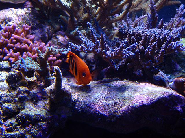 dallis acro4b - Austin - Dallis & Marcus' 600g reef