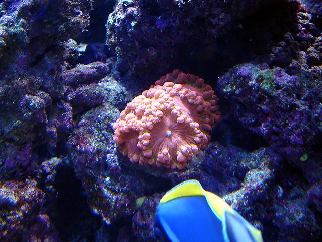 dallis blastos - Austin - Dallis & Marcus' 600g reef