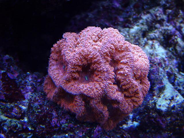 dallis blastos o - Austin - Dallis & Marcus' 600g reef