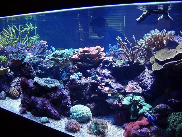 dallis fts1 - Austin - Dallis & Marcus' 600g reef