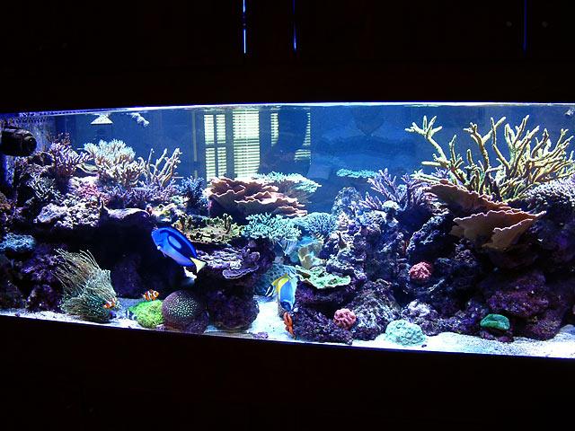dallis fts3 - Austin - Dallis & Marcus' 600g reef