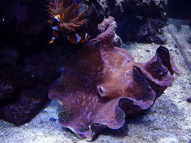 dallis gigas - Austin - Dallis & Marcus' 600g reef