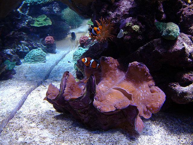 dallis gigas2 - Austin - Dallis & Marcus' 600g reef