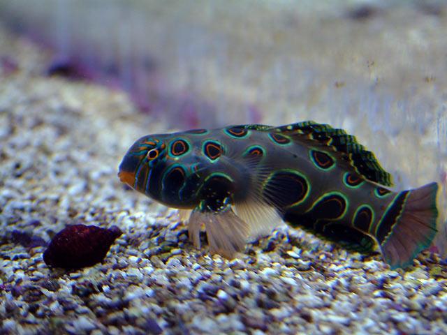 dallis mandarin - Austin - Dallis & Marcus' 600g reef