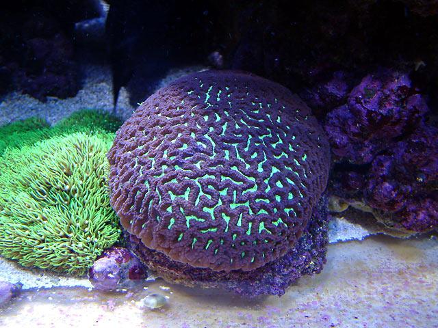 dallis maze - Austin - Dallis & Marcus' 600g reef