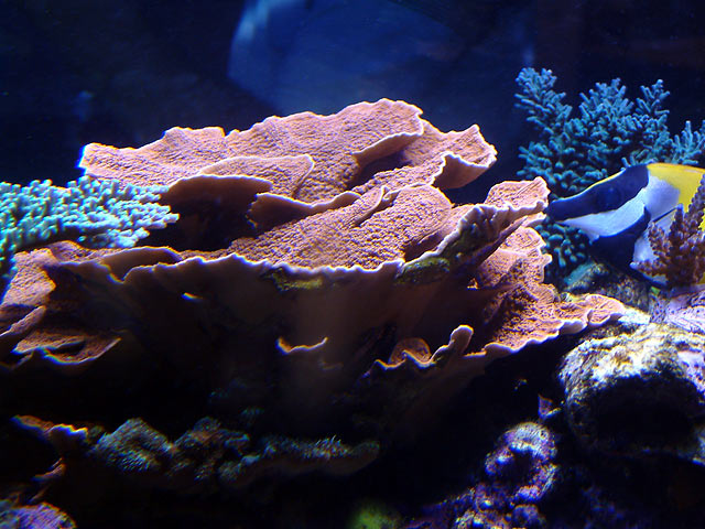 dallis mcap - Austin - Dallis & Marcus' 600g reef