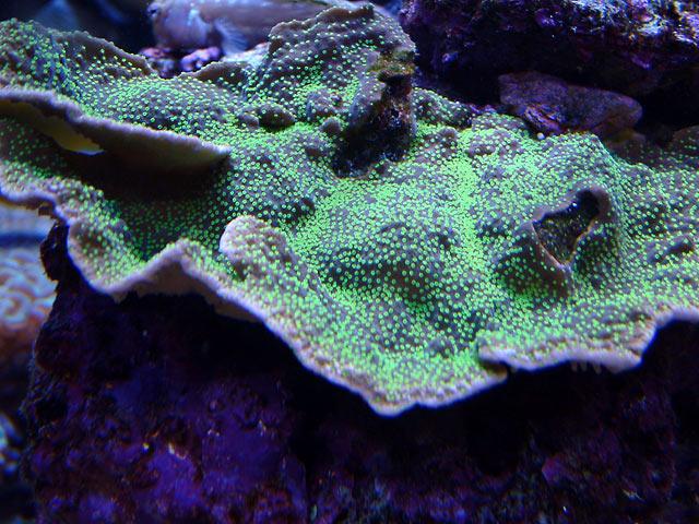 dallis monti1 - Austin - Dallis & Marcus' 600g reef