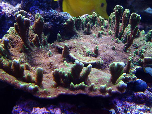dallis monti2 - Austin - Dallis & Marcus' 600g reef