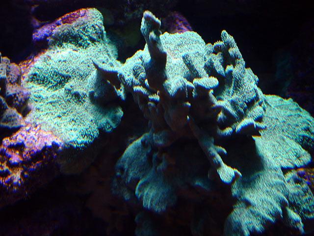 dallis pavona - Austin - Dallis & Marcus' 600g reef
