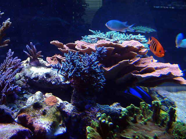 dallis reefshot2 - Austin - Dallis & Marcus' 600g reef
