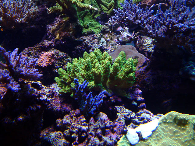 dallis reefshot3 - Austin - Dallis & Marcus' 600g reef