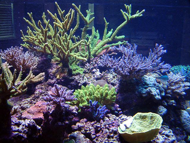 dallis slimer3 - Austin - Dallis & Marcus' 600g reef