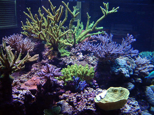 dallis slimer5 - Austin - Dallis & Marcus' 600g reef