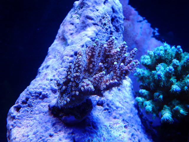 gabriel acro2 - Austin - Gabriel's 125g reef