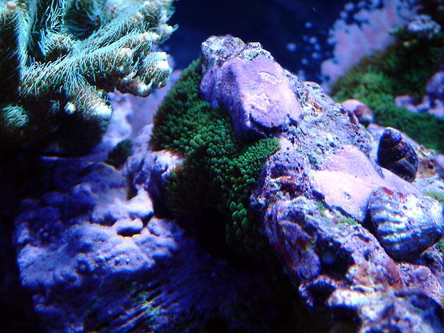 gabriel majanos - Austin - Gabriel's 125g reef
