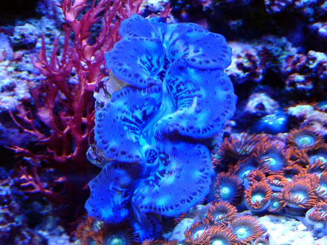 gabriel maxima - Austin - Gabriel's 125g reef
