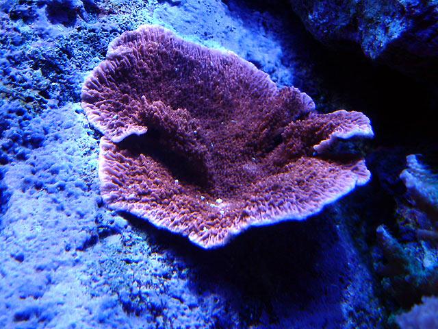 gabriel mcap - Austin - Gabriel's 125g reef