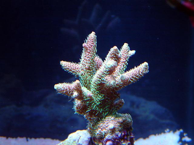 gabriel milli pink - Austin - Gabriel's 125g reef