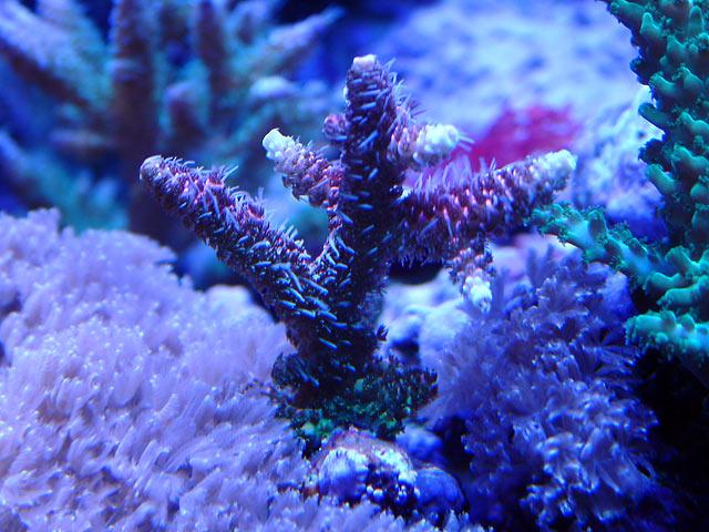 gabriel prostrata - Austin - Gabriel's 125g reef