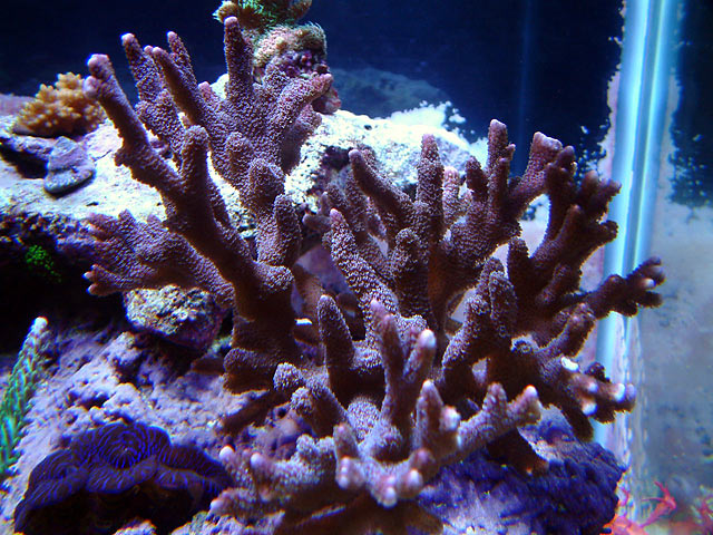gabriel purple digitata - Austin - Gabriel's 125g reef