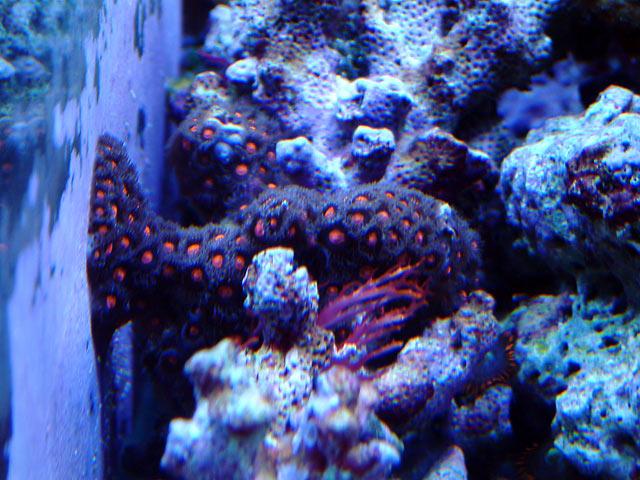gabriel zoas - Austin - Gabriel's 125g reef