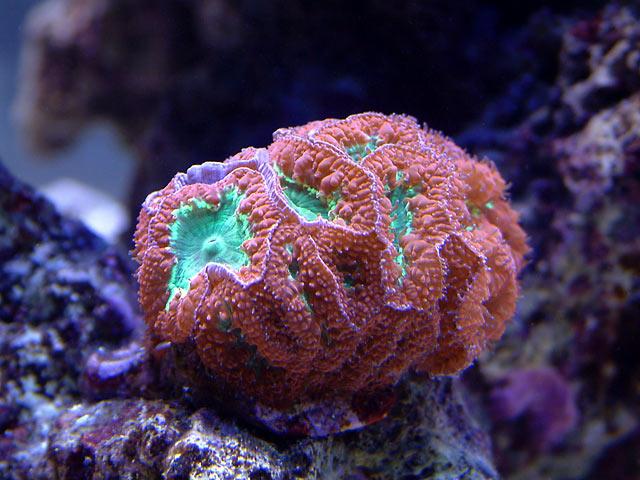 mike blastos o - Austin - Mike's 450g reef