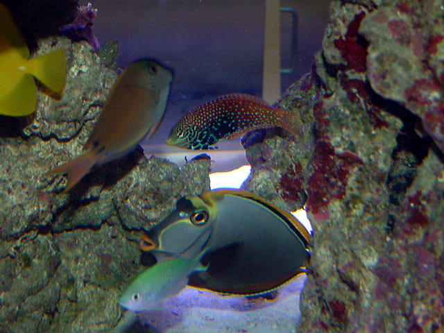 mike leopard wrasse - Austin - Mike's 450g reef