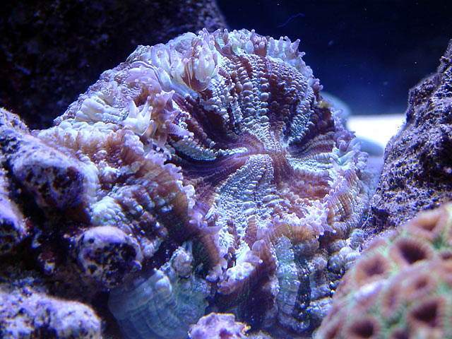 mike meaty coral - Austin - Mike's 450g reef