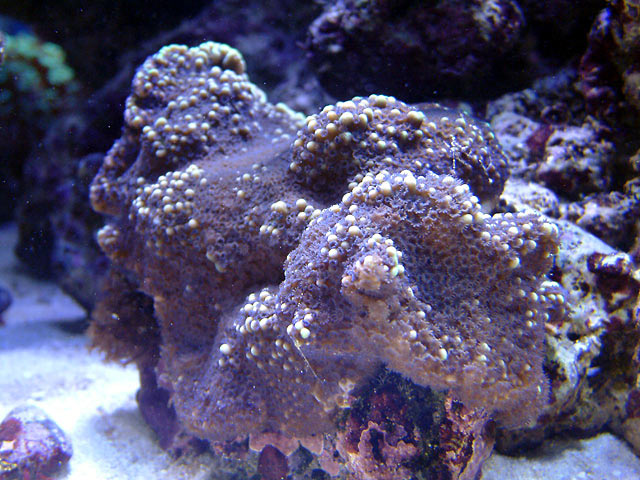 mike monti1 - Austin - Mike's 450g reef