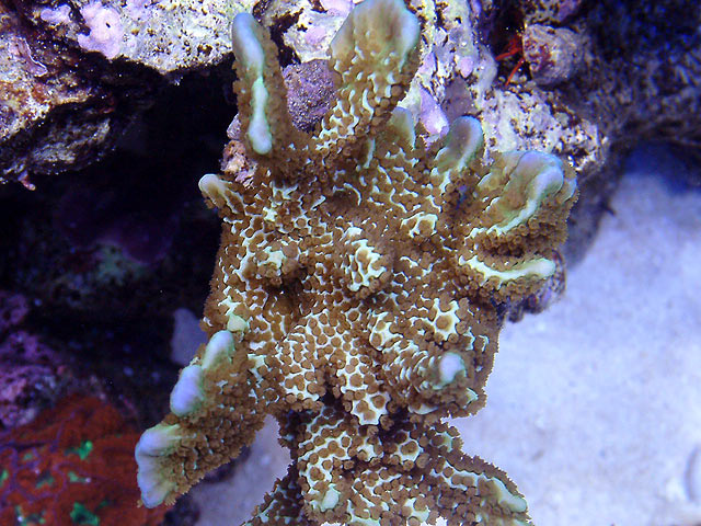 mike monti1 td - Austin - Mike's 450g reef