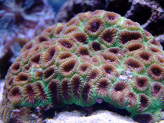 mike moon coral - Austin - Mike's 450g reef