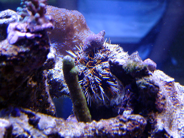 mike urchin - Austin - Mike's 450g reef