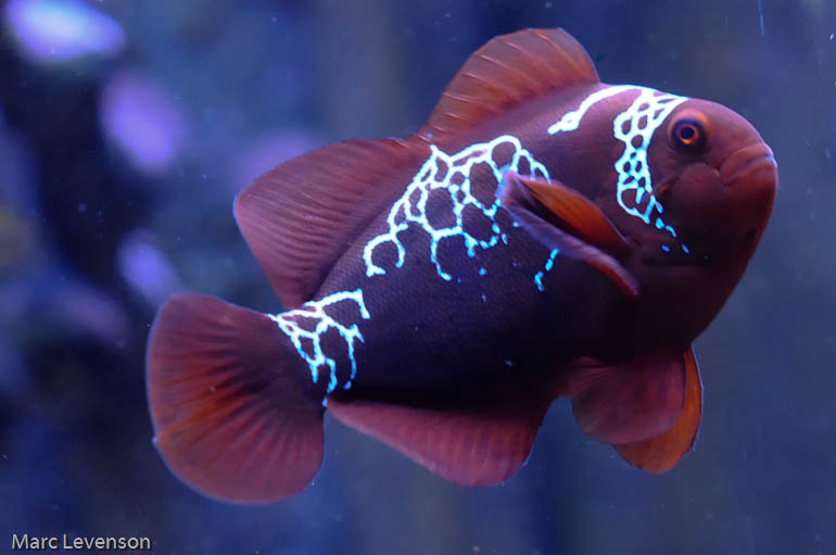 Visiting A Rare Fish The Lightning Maroon Clownfish Blogs Reef Addicts
