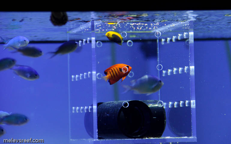 Image gallery tang acclimation for Acclimating saltwater fish